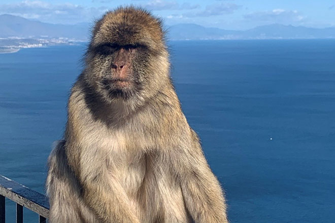 Barbary-ape-taking-a-view-of-Brexit.jpg