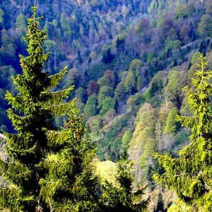Forest leaves rich in nitrogen do not help to cool the atmosphere