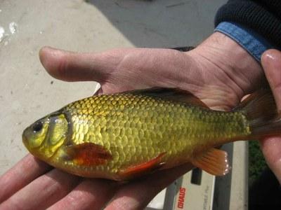 UCL pond team saving the crucian carp