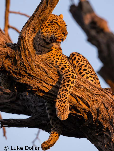 Over 75% of global Leopard habitat lost