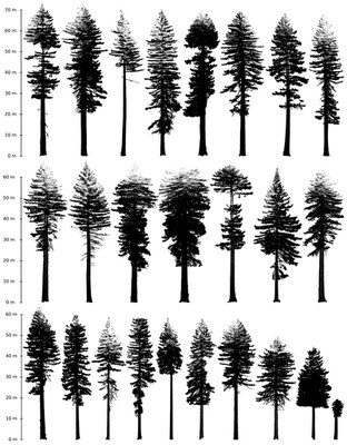 Measuring the world's biggest trees in California