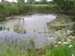 Restored pond